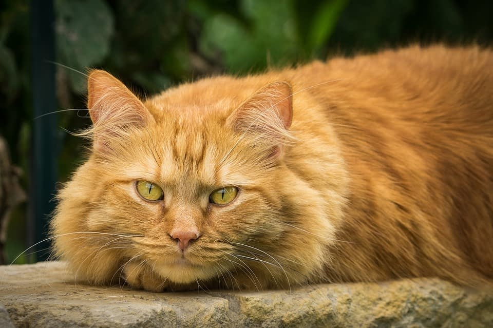 maine coon gender differences