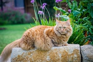 main coon cat breed