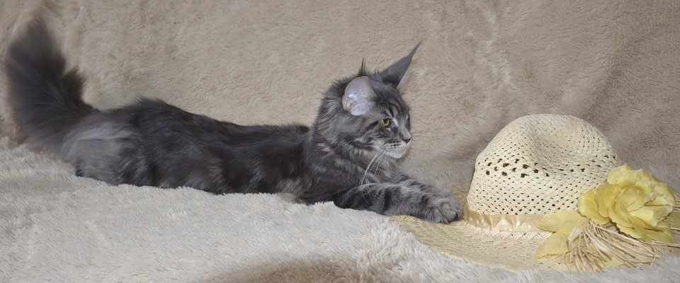 Maine Coon Sales Contract