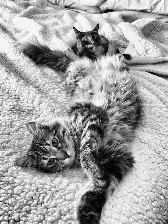 maine coon kittens breeder