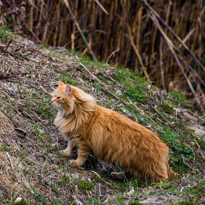 about us maine coon