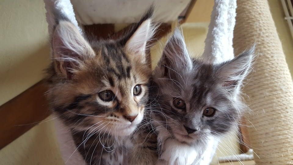 kitten sales info
